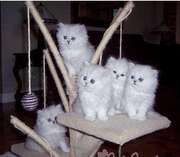 Friendly Persian kittens