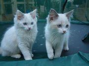 Excellent Ragdoll Kittens