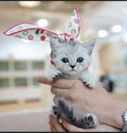 Adorable Munchkin Kittens for sale