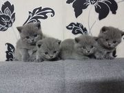 4 Beautiful British Shorthair Kittens Looking For Forever Homes.