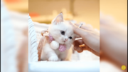 Munchkin Kittens for sale uk