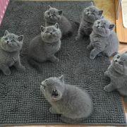 5 blue British shorthair kittens